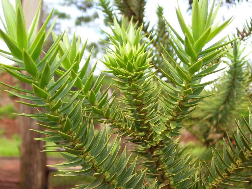 araucaria_angustifolia