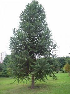 araucaria_angustifolia_21