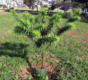 araucaria_angustifolia_3
