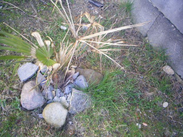 Это фото трахикарпуса в мае месяце после зимовки